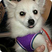Adopt A Pet :: David Bowie - House Springs, MO