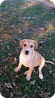 Labrador Retriever Mix Dog for adoption in Staunton, Virginia - Werther's Original