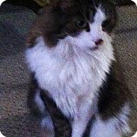 Adopt A Pet :: Bella - Laguna Woods, CA