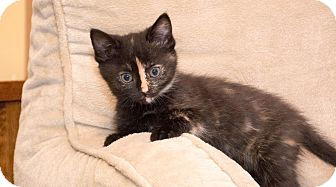 Domestic Shorthair Kitten for adoption in Clarksville, Indiana - Stripe