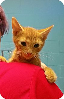 Domestic Shorthair Kitten for adoption in Franklin, Indiana - Si