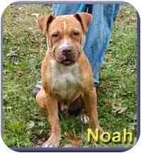 Pit Bull Terrier/Shar Pei Mix Dog for adoption in Aldie, Virginia - Noah