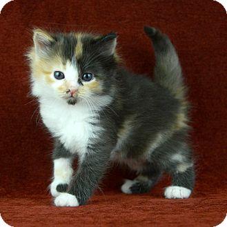 Domestic Mediumhair Kitten for adoption in Woodinville, Washington - calico