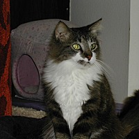 Domestic Longhair Cat for adoption in Naples, Florida - Kumari
