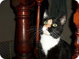 Domestic Shorthair Cat for adoption in Salem, Massachusetts - Betsey