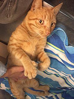 Polydactyl/Hemingway Cat for adoption in Lithia, Florida - Benny