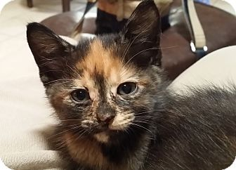 Domestic Shorthair Kitten for adoption in Whitney, Texas - Desdemona