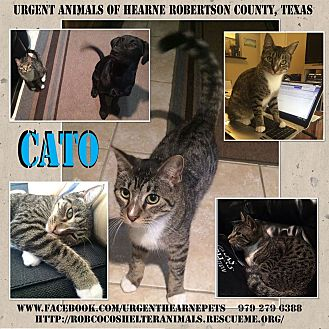Domestic Shorthair Cat for adoption in Hearne, Texas - Cato