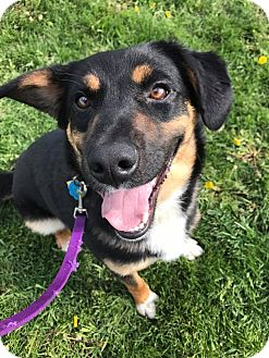 Shepherd (Unknown Type) Mix Dog for adoption in Maryville, Missouri - Max