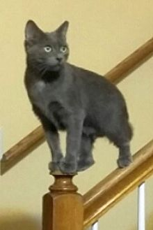 Russian Blue Cat for adoption in Chattanooga, Tennessee - Lil Bit