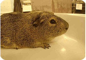 Guinea Pig for adoption in Fullerton, California - *Urgent* Mazee