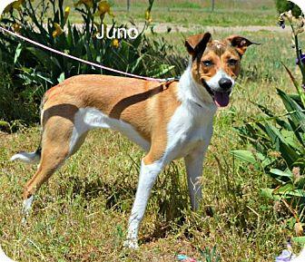 Border Collie/Labrador Retriever Mix Puppy for adoption in Yreka, California - Juno
