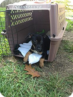 Dachshund/Jack Russell Terrier Mix Puppy for adoption in Holland, Michigan - Boots