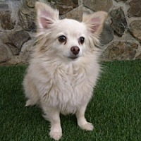 Adopt A Pet :: Lilly - Temecula, CA