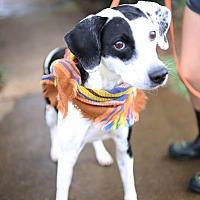 Adopt A Pet :: Woogie - Brattleboro, VT