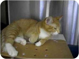 """Domestic Shorthair Cat for adoption in Slidell, Louisiana - Trevor """"Z"""""""