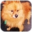 Photo 2 - Pomeranian Dog for adoption in New York, New York - Jay
