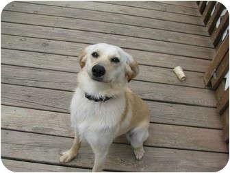 Labrador Retriever Mix Dog for adoption in Conesus, New York - Heidi