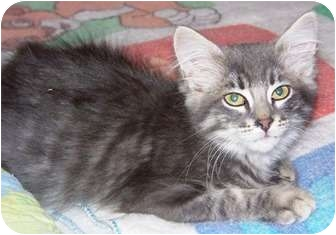 Domestic Mediumhair Kitten for adoption in Las Vegas, Nevada - Atala
