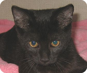 Domestic Shorthair Kitten for adoption in Hamilton, New Jersey - MALLIE-2012