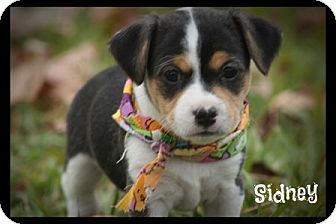 Jack Russell Terrier/Terrier (Unknown Type, Small) Mix Puppy for adoption in Glastonbury, Connecticut - Sidney