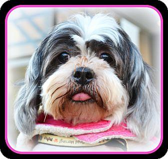 Shih Tzu Dog for adoption in Suffolk, Virginia - Sassie-VA