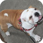 English Bulldog Dog for adoption in Winder, Georgia - Fiona