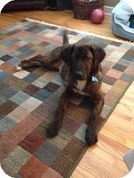 Mountain Cur Mix Dog for adoption in Minneapolis, Minnesota - Janie