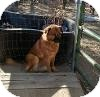 Chow Chow/Setter (Unknown Type) Mix Dog for adoption in Anza, California - Patches