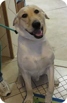 Labrador Retriever Dog for adoption in Middletown, New York - Bobby