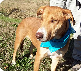 Shepherd (Unknown Type)/Labrador Retriever Mix Dog for adoption in Bedminster, New Jersey - ASTER/Sweetest Dog EVER!