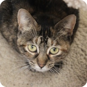 Domestic Shorthair Cat for adoption in Naperville, Illinois - Jade