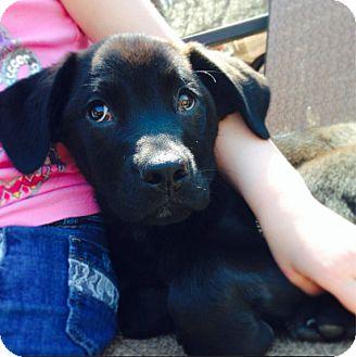 Mastiff/Labrador Retriever Mix Puppy for adoption in Hainesville, Illinois - Honey