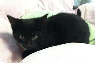 Domestic Shorthair Kitten for adoption in Greensburg, Pennsylvania - Midnight