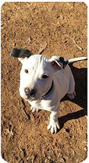 Labrador Retriever/Pit Bull Terrier Mix Puppy for adoption in Wichita Falls, Texas - Max