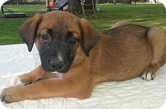 Shepherd (Unknown Type) Mix Puppy for adoption in Branford, Connecticut - Gertie