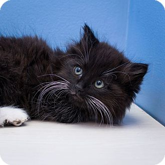Domestic Mediumhair Kitten for adoption in Edmonton, Alberta - Dr Webber