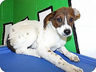 Australian Cattle Dog Mix Puppy for adoption in Laingsburg, Michigan - Laguna