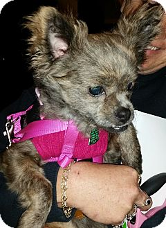 Pomeranian Mix Dog for adoption in Crestview, Florida - Chica
