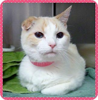Domestic Shorthair Cat for adoption in Marietta, Georgia - JOSIE (R)