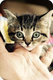 Domestic Shorthair Kitten for adoption in Danbury, Connecticut - Meg