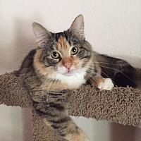 Calico Cat for adoption in Tempe, Arizona - Puddin