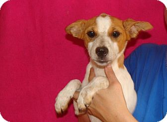 Jack Russell Terrier/Rat Terrier Mix Puppy for adoption in Oviedo, Florida - Nutmeg
