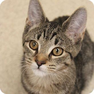 Domestic Shorthair Kitten for adoption in Naperville, Illinois - Frankie