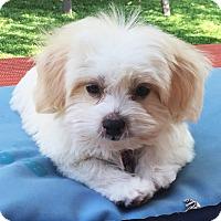 Adopt A Pet :: Blaze Puppy - Encino, CA