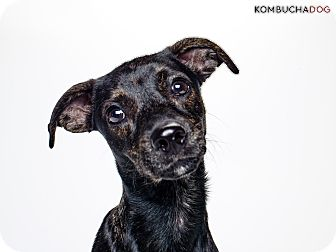 Dachshund/Miniature Pinscher Mix Dog for adoption in Encino, California - Kona