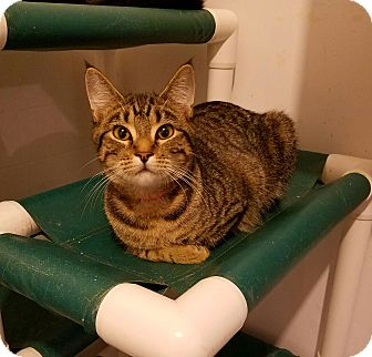 Domestic Shorthair Cat for adoption in Geneseo, Illinois - Kinsey