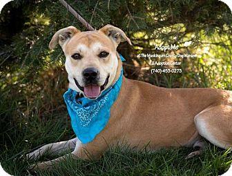 Labrador Retriever/Terrier (Unknown Type, Medium) Mix Dog for adoption in Zanesville, Ohio - Chevy - ADOPTED!