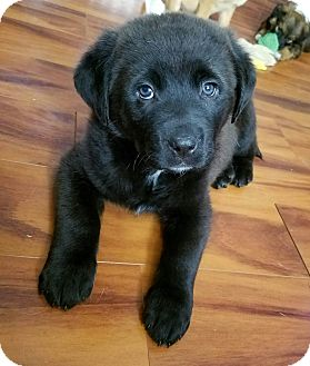 Labrador Retriever Mix Puppy for adoption in Fredericksburg, Virginia - Al Capone