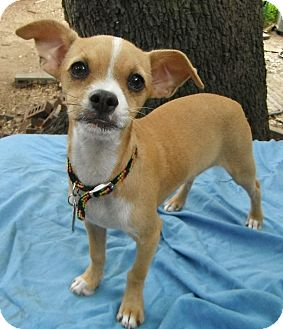 Chihuahua/Terrier (Unknown Type, Small) Mix Puppy for adoption in Wallis, Texas - Gordy